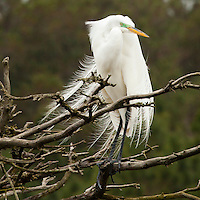 Egret with mating season plumage.