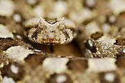 Die in den Wüsten Afrikas lebende Gehörnte Puffotter (Bitis caudalis) hat ihren Namen aufgrund der über den Augen vorstehenden Schuppen erhalten. Durch ihre Zeichnung ist sie perfekt im Wüstensand getarnt. Die lebendgebärende Gehörnte Puffotter bringt pro Wurf 10 bis 12 Junge zur Welt.  | Horned Adder (Bitis caudalis) Namib Desert sand dune; shot digital: 14,03inch x 9,317inch at 300 Pixel\inch