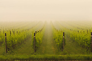 Vines in the fog, Shinn Estate Vineyard, Mattituck, Oregon Road, Long Island, New York North Fork