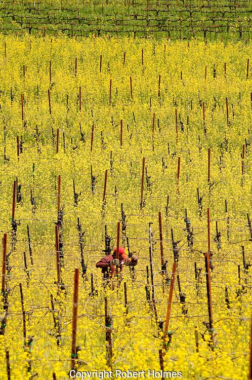 Dry Creek vineyards, Sonoma County, California