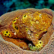 Longlure Frogfish inhabit coral reefs, often change color to blend with sponges in Tropical West Atlantic; picture taken Grand Turk.