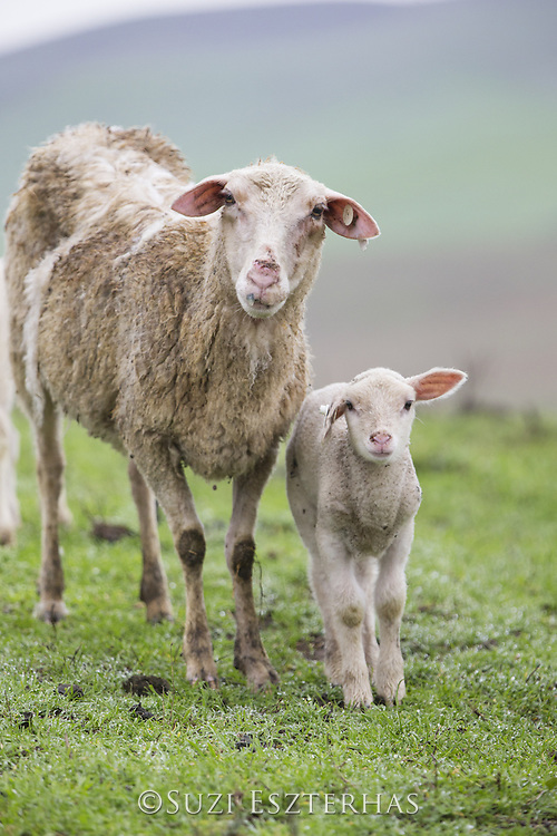 Domestic Sheep <br /> Ovis aries<br /> Ewe and lamb<br /> Sonoma County, California