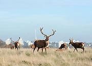 © Licensed to London News Pictures. 29/11/2014. Richmond, UK. Deer graze in the sunshine.  People and animals enjoy the late Autumn sunshine in Richmond Park, Surrey, today 29th November 2014. Photo credit : Stephen Simpson/LNP