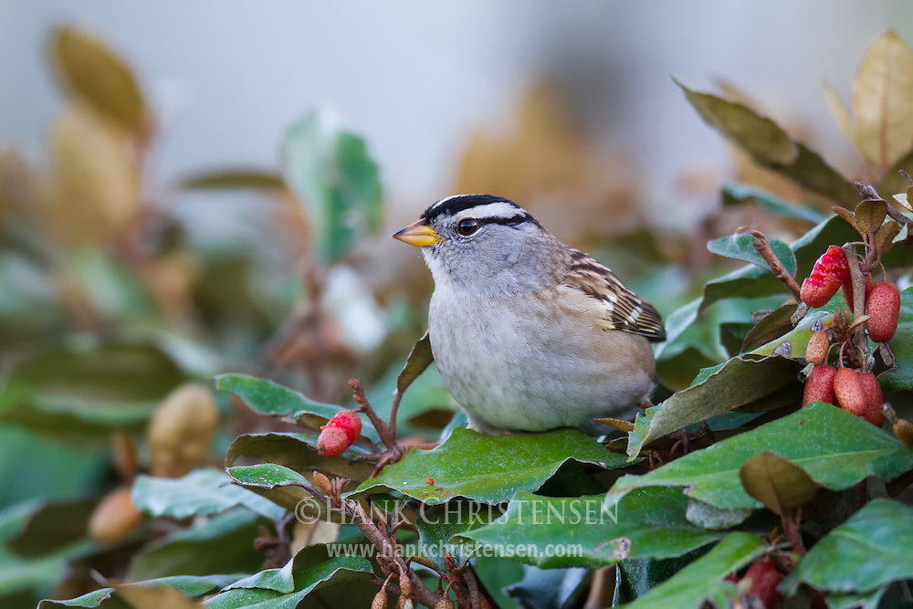 A white-crowned sparrow perches on a bush