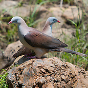Mountain Imperial Pigeons (Ducula badia) pair in the higher sections of Huai Kha Kaeng Sanctuary showing more vibrant blues polarized than other members of the species.