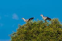 Secretary bird, Kwando Concession, Linyanti Marshes, Botswana.