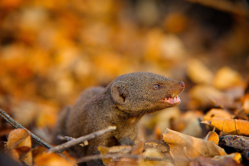 The common dwarf mongoose (Helogale parvula), sometimes just called the dwarf mongoose, is a small African carnivore belonging to the mongoose family.