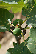 Close up of the fruit and leaves of a fig tree Ficus carica