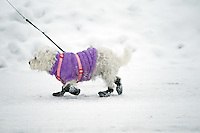 A small dog walks along an icy roadway in it's winter attire Tuesday, Nov. 30, 2010 in Coeur d'Alene, Idaho.