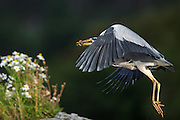 Flying Gray Heron with a fish in it's beek | Flygende Gråhegre med fisk i nebbet.