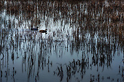 Two ducks leave a wake through reeds at Bombay Hook National Wildlife Refuge.