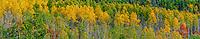 Autumn aspens [Populus tremuloides] in color; Fremont Colorado