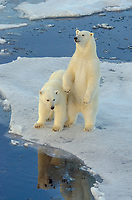 Two cub polar bears on sea ice in Barrow Strait just south of Cornwallis Island in Nunavut, Canada.