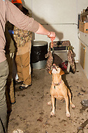 "Tom Taunton's Yellow Labrador retriever ""Rowdy"" waits for a scrap in the cleaning shack after a South Dakota pheasant hunt"