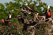 Adults and juveniles Magnificent Frigatebirds (Fregata magnificens) perched on tree branch. Pacheca Island, Las Perlas Archipelago, Panama province,  Panama, Central America.