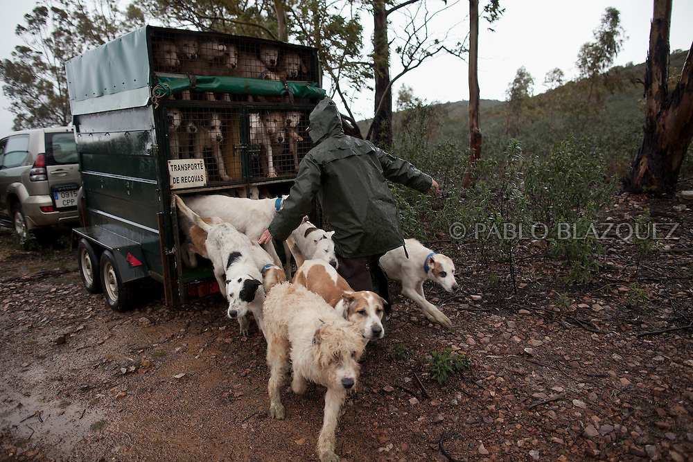 Hounds breeder Juan Carlos Pascual releases his dogs to start hunting near Carbajo on January 19 2013, in Caceres Province, Extremadura, Spain. .Caceres has a well preserved natural environment. Plenty of its surface is dedicated to deers and wild boars hunting, making this, an important part of its economy. But most of the land belongs to large landowners. .In Carbajo, people gather three times a year to hunt deers and wild boars. In the past, they used to hunt for eating, but now days, they practice it as an sport and a social event. Then, they sell what the catch as wild game meat.
