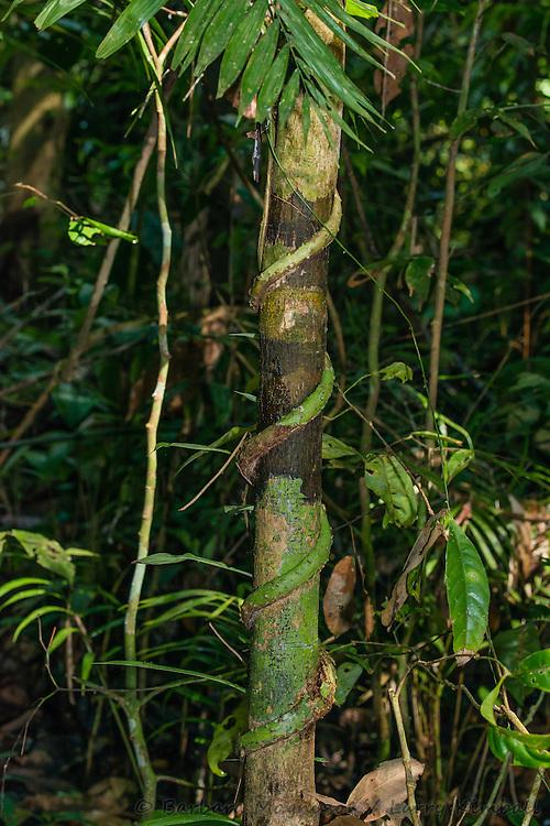 Strangler Fig [Ficus sp] vining up trunk of host tree; Yasuni National Park, Ecuador