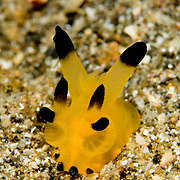 Thecacera sp. nudibranch in Lembeh Straits, Indonesia.