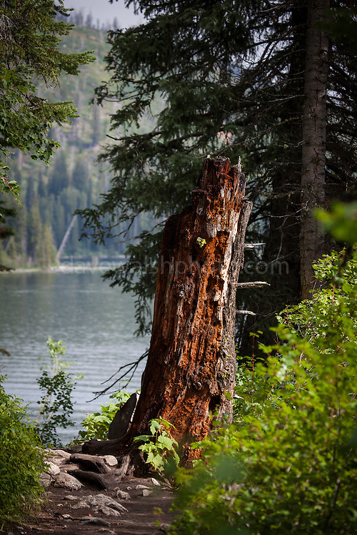 Rotting tree stump on Jenny Lake Trail, at Grand Teton National Park, Wyoming