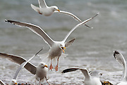 Herring gulls fighting over bread, with one screaming,