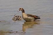 Egyptian Goose, Kruger, South Africa