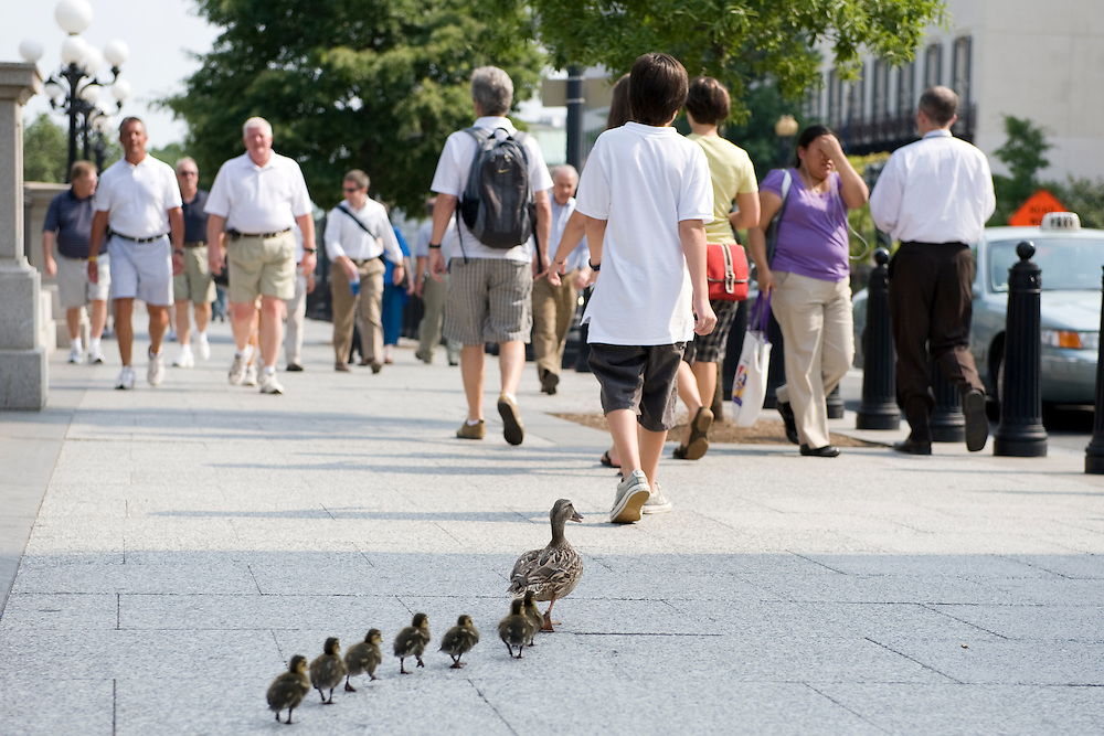 A mother duck leads her duckings down the sidewalk on 17th street near the White House in Washington DC, USA on 22 July 2009.