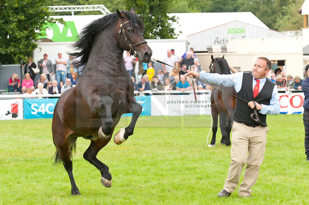 © Licensed to London News Pictures. 21/07/2015. Llanelwedd, UK. Three-year-old Colt Welsh Cobs are put through their paces in the Main Ring. The Royal Welsh Show is hailed as the largest & most prestigious event of it's kind in Europe. In excess of 200,000 visitors are expected this week over the four day show period - 2014 saw 237,694 visitors, 1,033 tradestands & a record 7,959 livestock exhibitors. The first ever show was at Aberystwyth in 1904 and attracted 442 livestock entries. Photo credit: Graham M. Lawrence/LNP