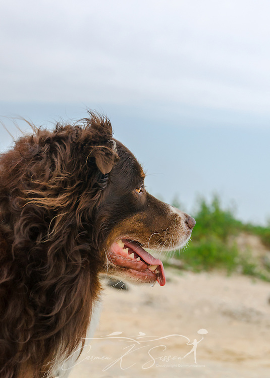 Cowboy, a six-year-old Australian Shepherd, stands on the east end of Dauphin Island in Dauphin Island, Ala., April 28, 2014. (Photo by Carmen K. Sisson/Cloudybright)