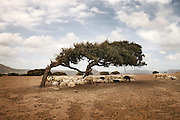 Sheeps under the shadow of a tree in Sulcis Iglesiente.