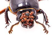 Bess or Peg Beetle (Odontotaenius disjunctus) with mites<br /> TEXAS: Jasper Co.<br /> Brookeland/Lake Sam Rayburn KOA @ 505 Co Rd 212<br /> 31.141606, -93.994174<br /> 20.May.2015<br /> J.C. Abbott #2733 &amp; K.K. Abbott