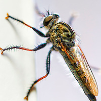 A closeup shot of a Robber Fly on my window. The Asilidae are the robber fly family, also called assassin flies. They are powerfully built, bristly flies with a short, stout proboscis enclosing the sharp, sucking hypopharynx.