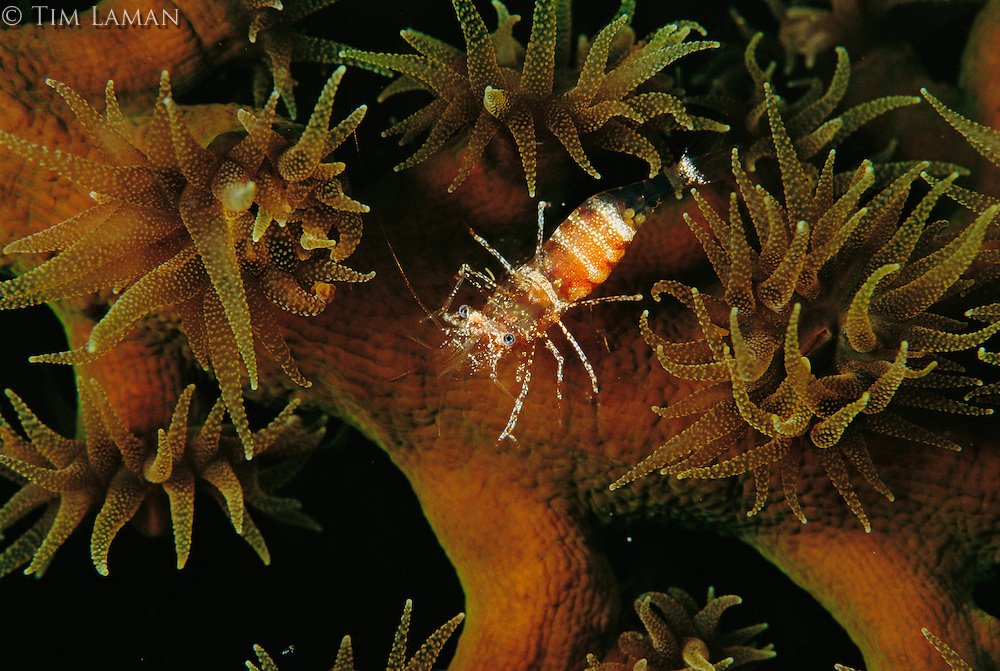 Shrimp on a tubasraea coral.
