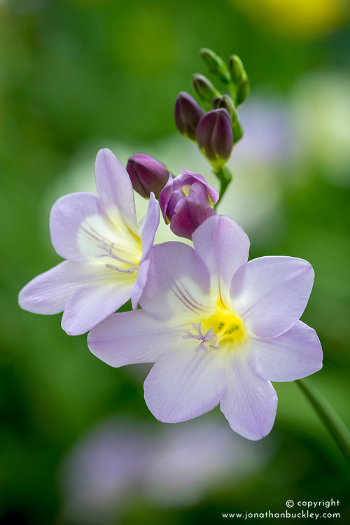 Freesia 'Mauve'