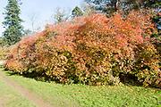 Bladdernut tree, Staphylea x coulombieri, National arboretum, Westonbirt arboretum, Gloucestershire, England, UK