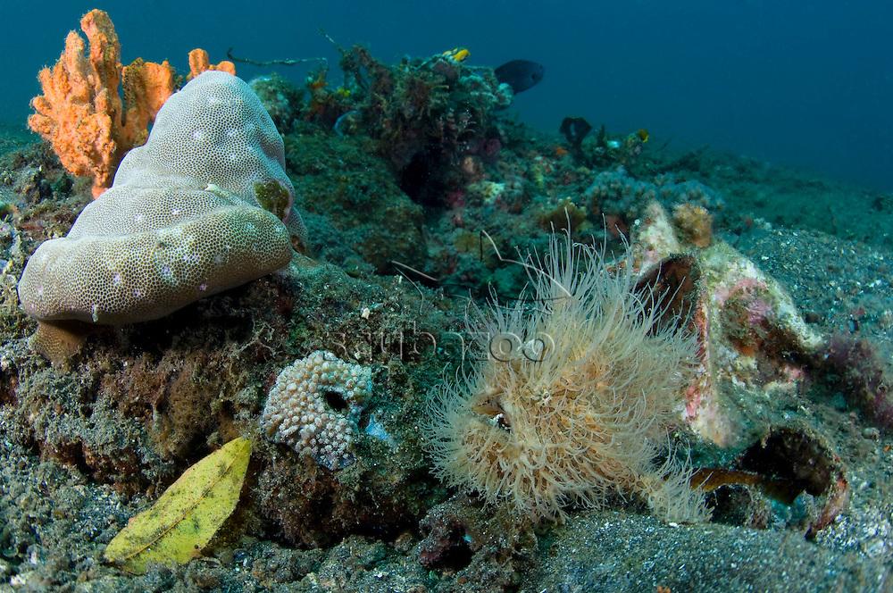 Hairy Frogfish, Antennarius striatus, around rubble,  KBR, Lembeh Strait, Sulawesi, Indonesia.