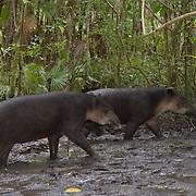 Baird's Tapir (Tapirus bairdii), Belize Zoo, Belize, Central America