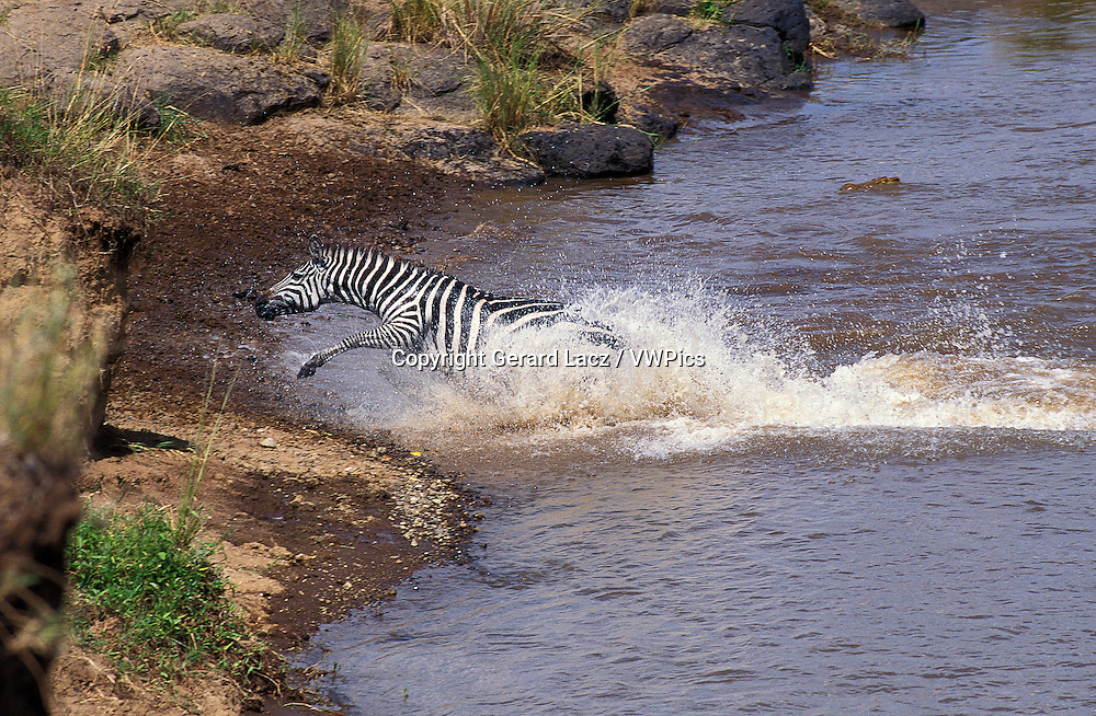 Burchell's Zebra, equus burchelli, Adult crossing Mara River during Migration, Masai Mara Park in Kenya