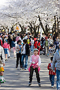 Yeouido Island. Hundreds of Thousands of Seoulites enjoy the Cherry Blossom in Yunjungno, the street around the National Assembly lined by cherry trees which has been cleared from traffic for these days.