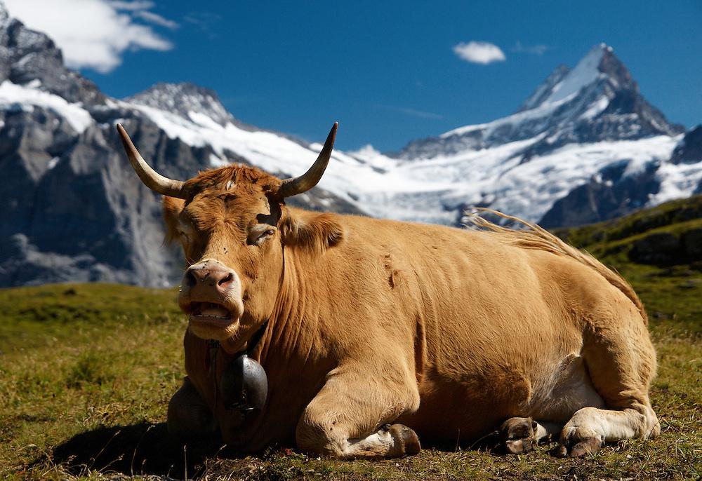 Switzerland - Cow in front of Schreckhorn