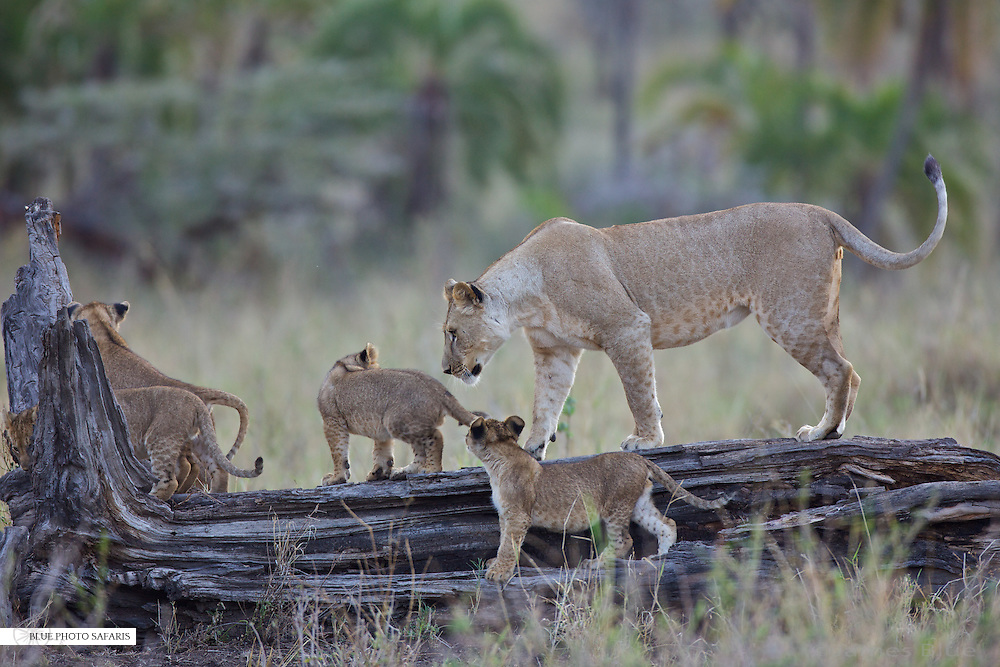 Lioness (Panthera leo) giving her cubs a lesson, Serengeti