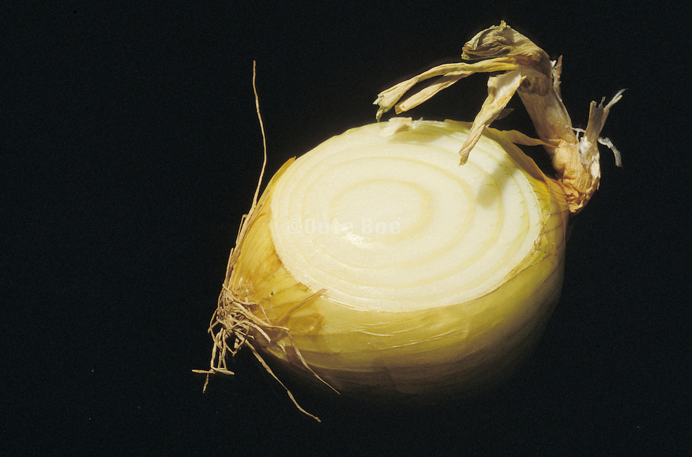 cross section of an onion