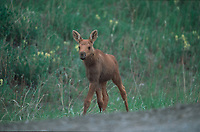 Moose (Alces alces) calf, Sibbald creek trail, Kananaskis Country, Alberta, Canada Photo: Peter Llewellyn