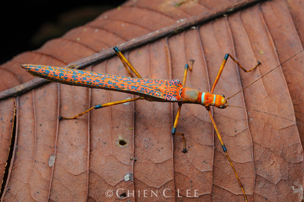 Whilst most stick insects are highly camouflaged to avoid detection from predators, this species (Calvisia sp.) opts for the opposite approach, using bright colors to warn of a possibly distasteful nature. Sarawak, Malaysia.