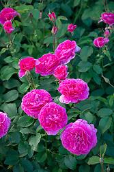 Rosa England's Rose = 'Auslounge'