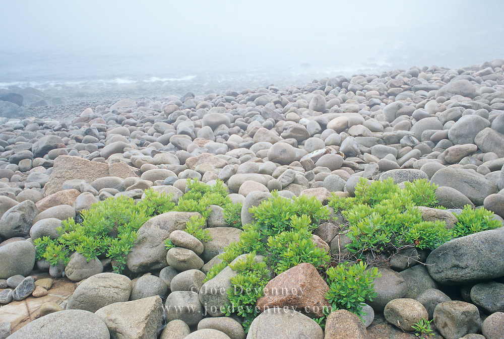 Foggy morning on Boulder Beach. Acadia National Park. Mount Desert Island. Maine
