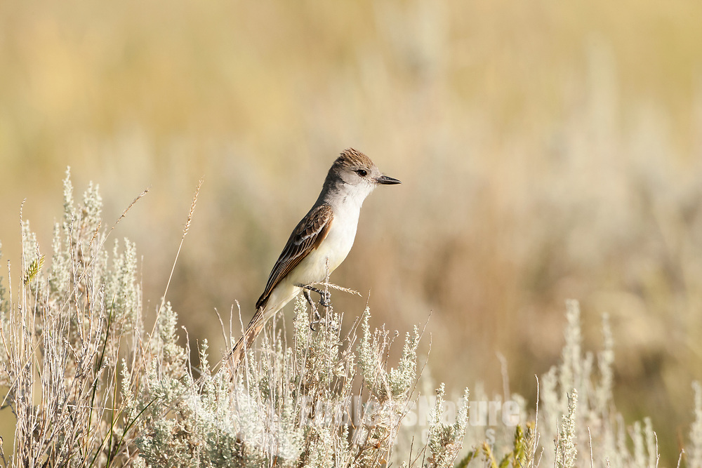 A Western Kingbird perched on top of sagebrush in the western desert in Utah.