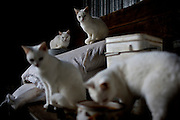 A family of identical white cats occupy Dave Bircher's barn in Guysville where he has farmed the rolling hills of Southeast Ohio for more than thirty years.
