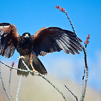 "A young male Harris Hawk lands on an ocotillo cactus during the ""Free Flight"" exhibit at the Tucson, Arizona/Sonora Desert Museum. The family of hawks perform a hunt in front of visitors to the museum, soaring close to onlookers."