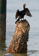 KEVIN BARTRAM/The Daily News.A cormorant sits atop a piling under the Balinese Room as it dries it's wings early Sunday morning, June 4, 2006.