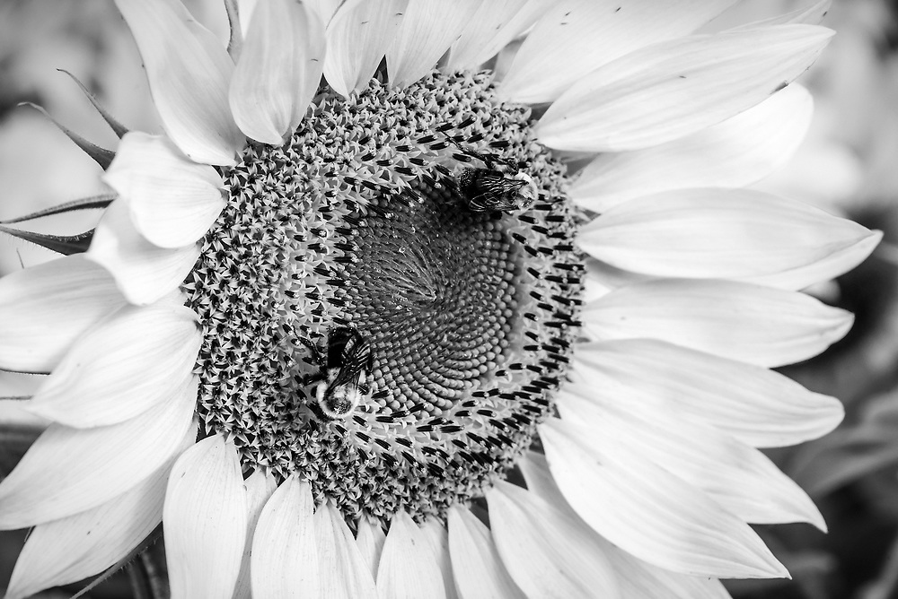 Early morning black & white composition from a field of sunflowers on  Hwy 311 in North Carolina.
